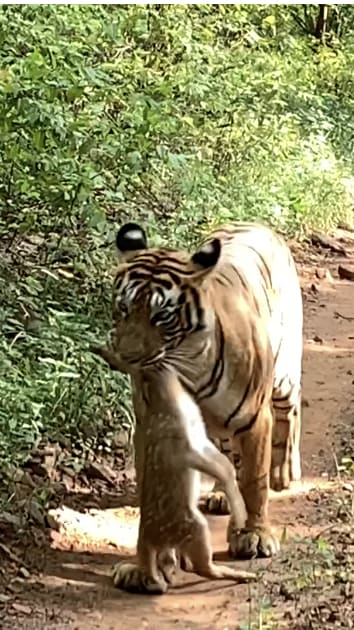 Tiger with its prey